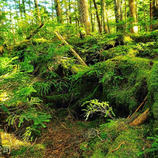 麦草峠白駒の池周辺の森3