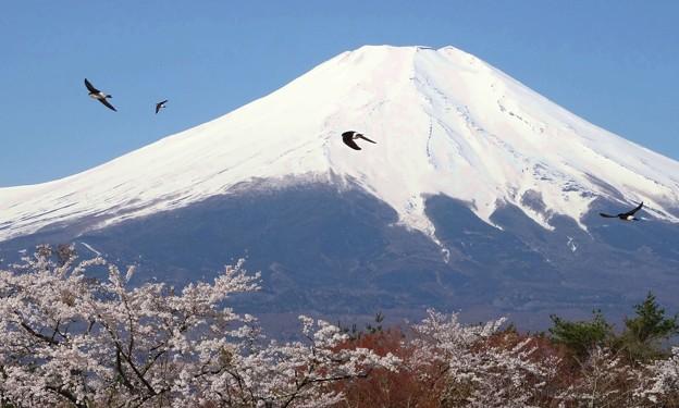 富士山麓ツバメ飛ぶ