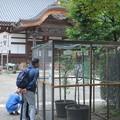 オオムラサキの飼育