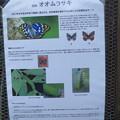 国蝶・オオムラサキについて