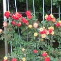 薔薇・つるチャールストン