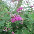 ヤマハギ(赤花)