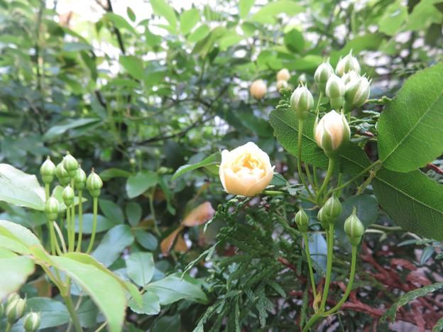 モッコウバラが咲きそうです