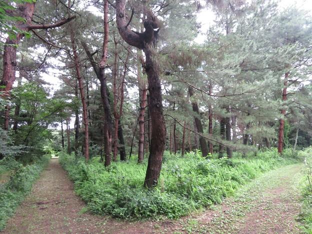 外国産マツ見本林2