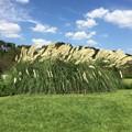 神代植物公園 芝生広場のパンパグラス