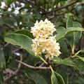銀木犀の花