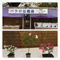 バラの盆栽展