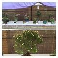 バラの盆栽展2