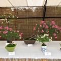 バラの盆栽展3
