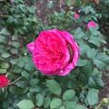 発見! バラの花の中に