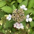何の変哲もないヤマアジサイの花ですが!