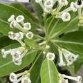 チュウコウボクの花