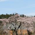 美術館の桜