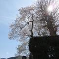 龍蔵寺の桜
