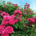 お隣の薔薇