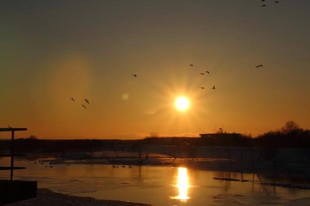 白鳥の帰還_斜里川