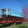 桜と釧網線