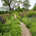 写真: ルピナス咲く丘