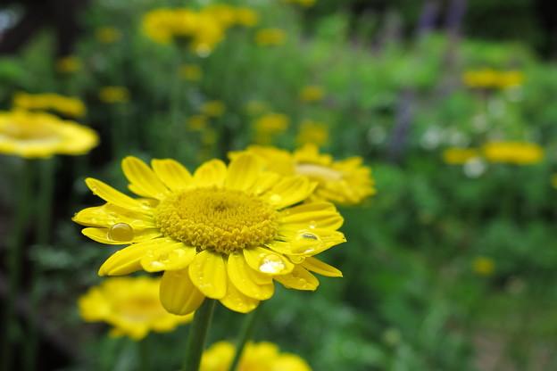 黄色い花と滴