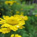 写真: 黄色い花と滴