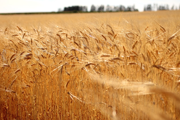 Photos: 麦穂の輝き2