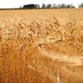写真: 麦穂の輝き2