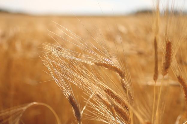 写真: 麦穂の輝き