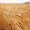 Photos: 麦穂の輝き