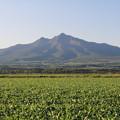 写真: ビート畑と斜里岳