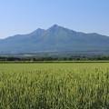 Photos: 小麦畑と斜里岳