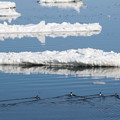 Photos: 流氷の間をスイスイ