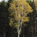 Photos: 染まらない木