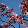 Photos: エゾヤマ桜? 色が濃い・・・