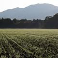 朝露煌めく小麦畑