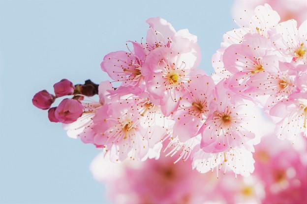 Photos: 「椿寒桜」。