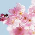 写真: 「椿寒桜」。