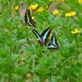 浜離宮の蝶たち **