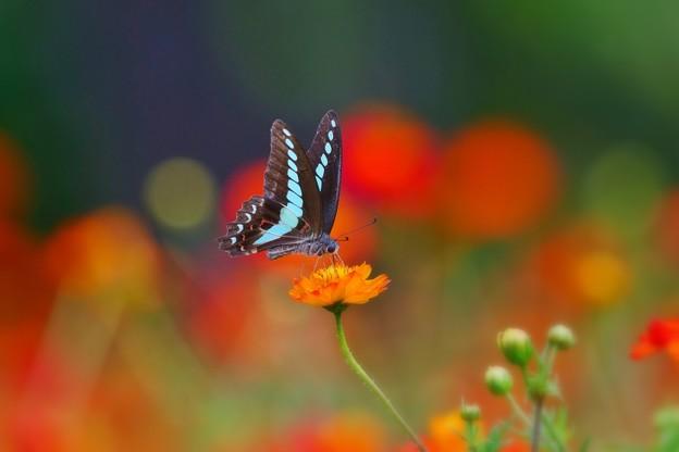 写真: 浜離宮の蝶たち *