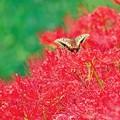 彼岸花とキアゲハ。