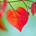 Photos: 赤い若葉。