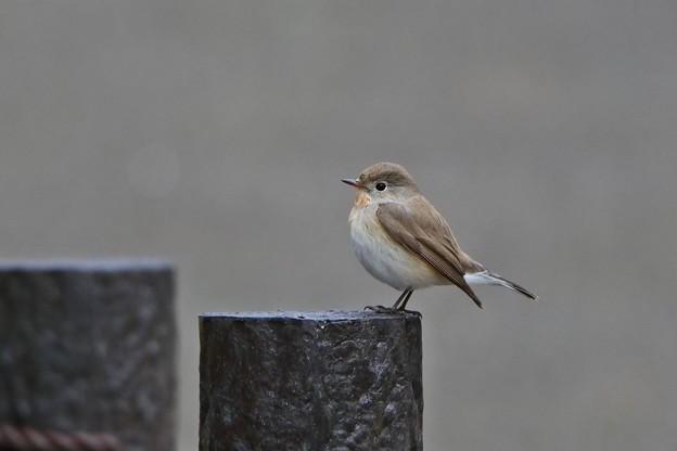 新春初鳥撮り隊 *ニシオジロビタキ*