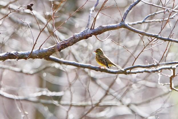 新春初鳥撮り隊 *アオジ*