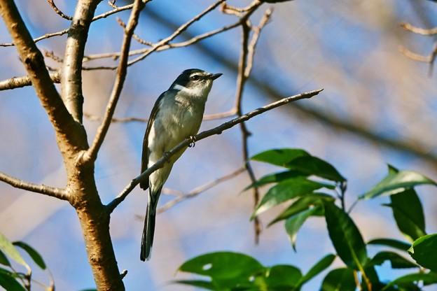 新春初鳥撮り隊 *リュウキュウサンショウクイ*