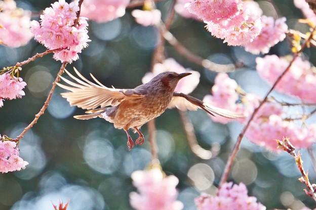 椿寒桜とヒヨドリ。