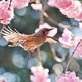 Photos: 椿寒桜とヒヨドリ。