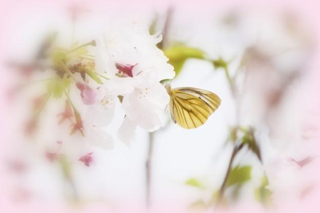 Photos: 桜休憩。