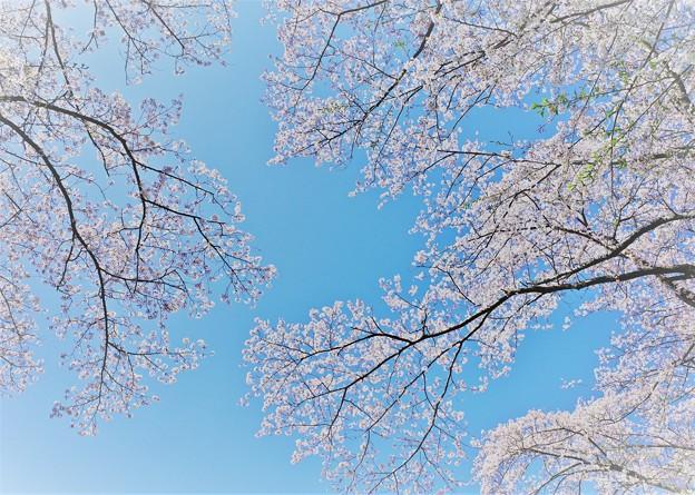 三保平の桜。