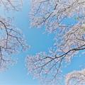 Photos: 三保平の桜。