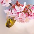 写真: 熱海桜とメジロ
