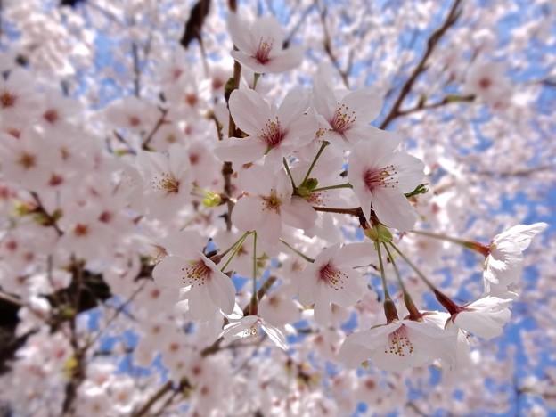 さくら 広島市南区松川町 松川公園 2015年3月30日